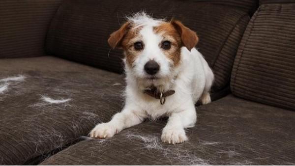 家用地毯——如何去除地毯上的宠物毛